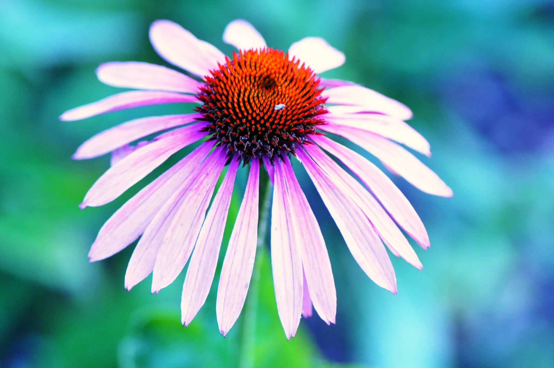 Echinacea Pratology