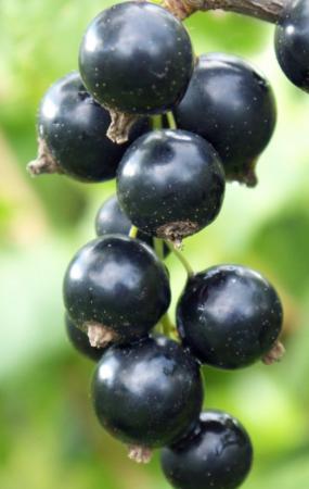 Ribes nero Pratology