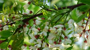 acacia Pratology