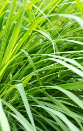 Lemongrass Pratology